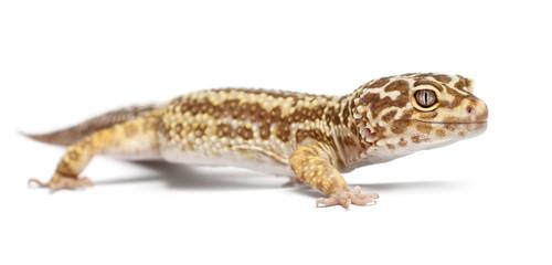 Albino Striped Leopard gecko, Eublepharis macularius