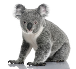 Fototapete - Young koala, Phascolarctos cinereus, 14 months old