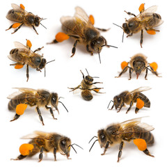 Poster Bee Composition of Western honey bees or European honey bees