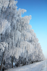 Fototapete - winter road with birch wood