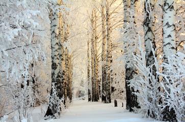 Wall Mural - winter birch woods in morning light