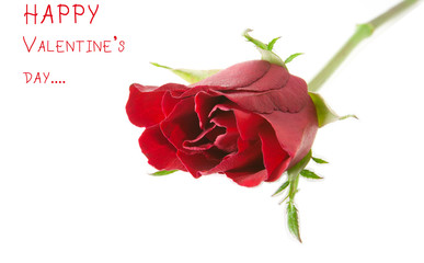 valentine red rose isolated on white