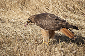 Red tailed hawk eating a snake