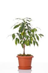 Ficus tree in a flower pot