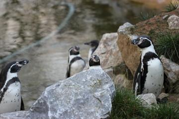 Humboldt-Pinguine  (Spheniscus humboldti)