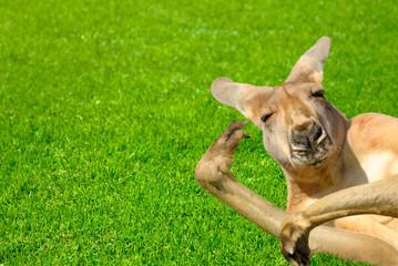 Foto op Aluminium Kangoeroe Känguru in amüsanter Pose liegt auf Rasen