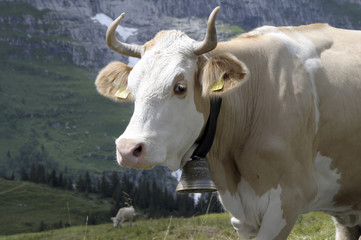 Cow with bell in Bernese Oberland, Switzerland