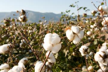 Bilder und Videos suchen: baumwollpflanze