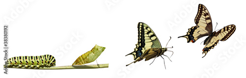 Metamorphosis of the European Swallowtail