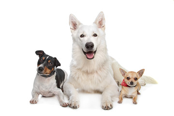 chihuahua,white shepherd and a jack russel terrier
