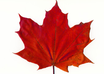 red mapple leaf
