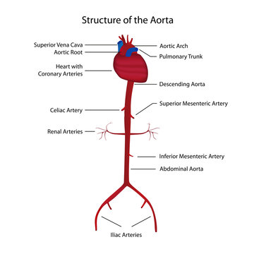 structure of the aorta vector illustration