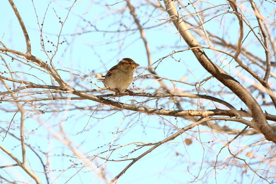 American Tree Sparrow On A Bare Branch