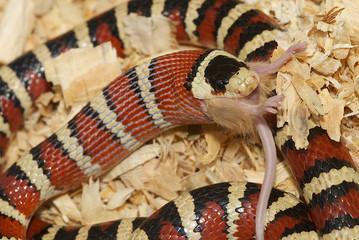 Arizona Mountain Kingsnake swallowing a mouse