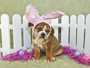 Fototapete - Funny Easter Bulldog