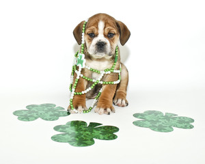 Wall Mural - Funny St Patricks Day Puppy