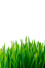 Fototapete - Green grass, isolated