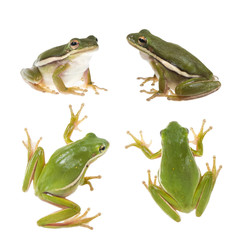 The American green tree frog (Hyla cinerea)