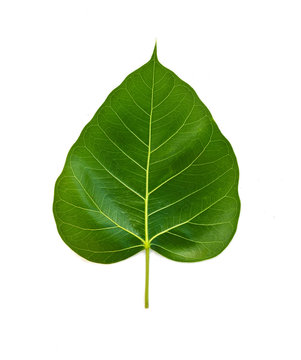 Bhodi Leaves (isolation) 2