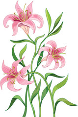 Vector illustration of lilies flowers