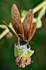 Motyl makro