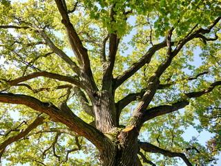 Tuinposter Aan het plafond Eiche Baumkrone Baum Natur