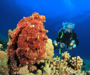 Big Red Octopus and Scuba Diver