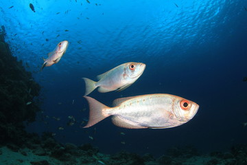 Crescent-tailed Bigeye Fishes
