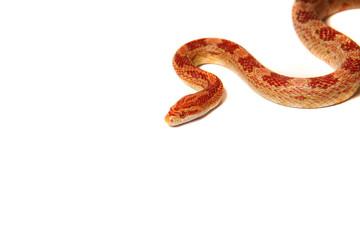 Schlange, Snake, Kornnatter, Wall mural