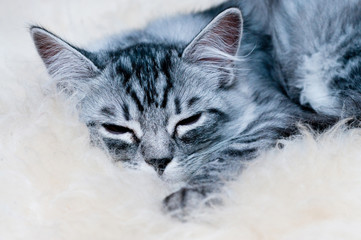 Sleeping little kitten