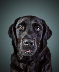 Labrador Retriever Mischling Gemäde Portrait