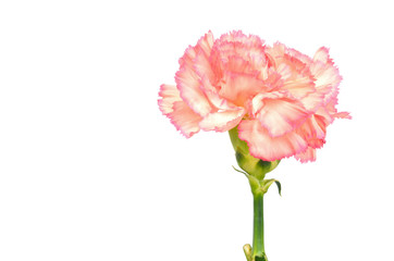 Pink Carnation Isolated