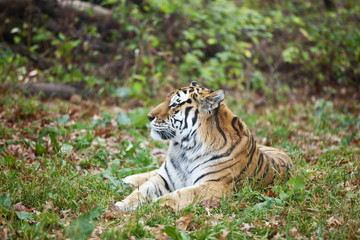 Photograph of a resting Siberian tiger