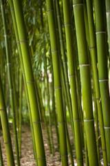 Wall Mural - Bambous, asie, asiatique, forêt, végétation, végétal, vert