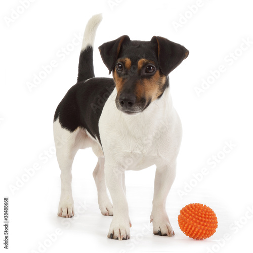chien jack russel terrier jouant avec une balle photo. Black Bedroom Furniture Sets. Home Design Ideas