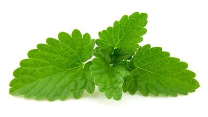 fresh leaf of melissa
