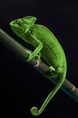 Green chameleon on bamboo