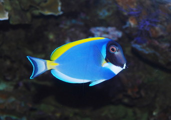 tropical sea surgeon fish in aquarium