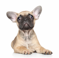 French bulldog puppy on a white background