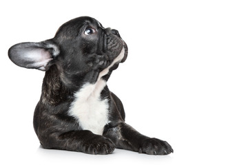 Wall Mural - French bulldog puppy looking up