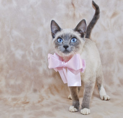Super Cute Siamese Kitten
