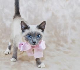 Cute Siamese Kitten