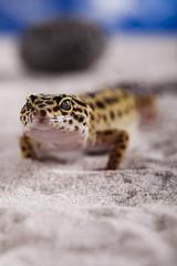 Gecko reptile, Lizard