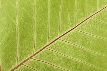 Close-up of Leaf Veins