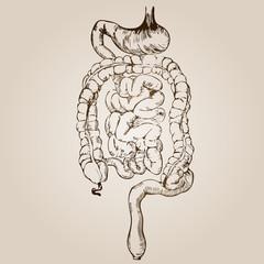 High resolution vintage anatomy sketch drawing