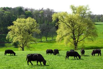 Idyllische Landschaft mit weidenden Kühen