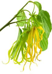 Photos illustrations et vid os de plante parfum for Plante ylang ylang