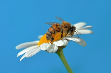 Bee on a White Sunflower