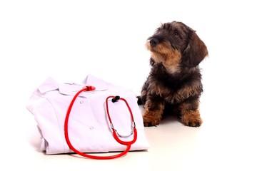 Wall Mural - Dackel Junghund mit Tierarztmantel und Stethoskop