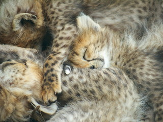 Cheetah Cubs Sleeping